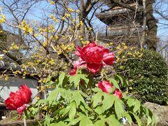 冬牡丹♪上野東照宮「ぼたん苑」 Vol.4 冬牡丹と蝋梅の競演を優雅に鑑賞♪
