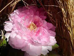 冬牡丹♪上野東照宮「ぼたん苑」 Vol.5 妖艶な冬牡丹を優雅に鑑賞♪