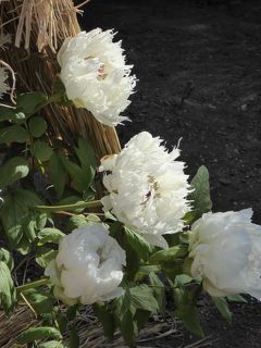 冬牡丹♪上野東照宮「ぼたん苑」 Vol.8 梅や河津桜と冬牡丹の競演を優雅に鑑賞♪