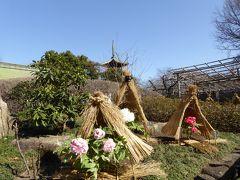 冬牡丹♪上野東照宮「ぼたん苑」 Vol.9 冬牡丹と五重塔の競演を優雅に鑑賞♪