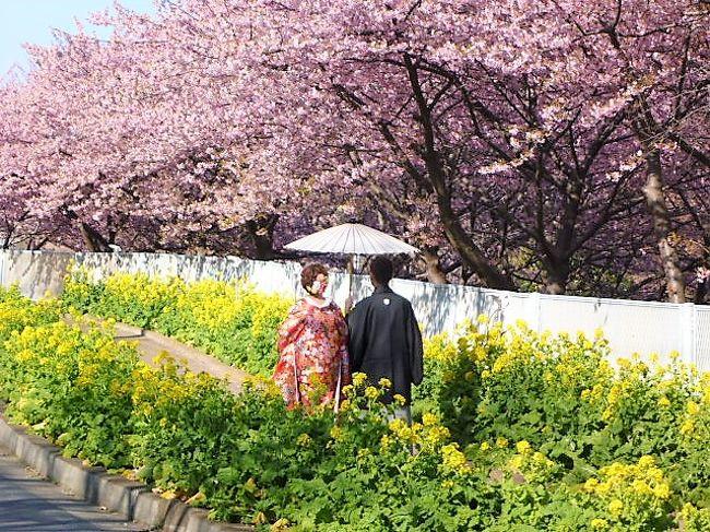 まつり 三浦 海岸 桜 三浦海岸桜まつりで河津桜のお花見を楽しもう!
