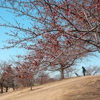 いせさき市民のもり公園の河津桜_2017_(1)_河津桜はまだ蕾、白梅・紅梅・ロウバイが咲いていた(群馬県・伊勢崎市)