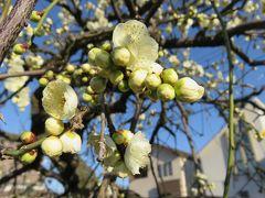 2017早春、ちらほら咲き始めた枝垂れ梅(1):2月19日(1):名古屋市農業センター、街路樹の枝垂れ梅、ソシンロウバイ