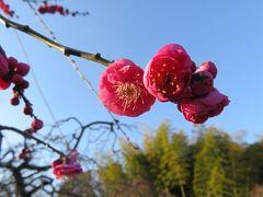 2017早春、ちらほら咲き始めた枝垂れ梅(2:完):2月19日(2):名古屋市農業センター、ソシンロウバイ、枝垂れ梅、椿、水仙