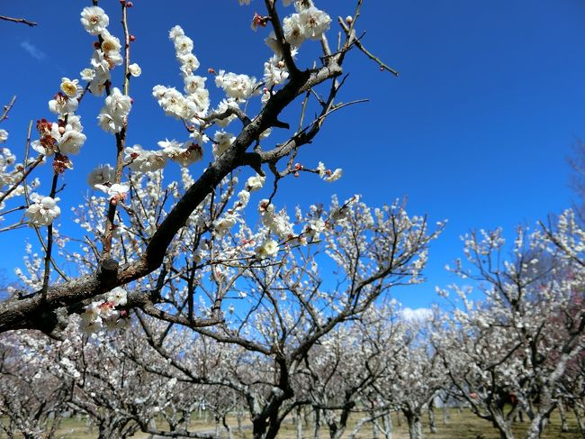 青葉の森公園で梅が咲いていると聞いて行ってきました。<br />品種によってまだ蕾が多いものや見頃過ぎのものもありましたが、満開のものもあってキレイでした。ちょうど河津桜も咲いていました。<br />帰りには坂東三十三観音の一つ、千葉寺にも寄りました。<br /><br />