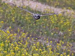 野鳥撮影記録(2017年2月)その8猛禽