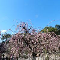 結城神社(三重県津市)の枝垂れ梅は素晴らしかった!