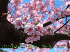 #318 2017年2月12日 河津 河津桜まつりぃ(1)・・・・昨年来たのは3月 今年は勢いがある2月にやって来ました やっぱ良いっすね河津桜