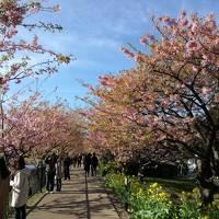 河津桜を観たくて1泊2日で行って来ました!【伊豆今井浜東急ホテル】2017年2月