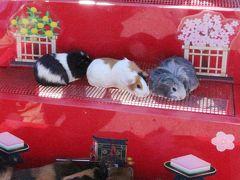 智光山公園こども動物園~我が家に一番近い動物園はいま~コツメカワウソが3頭家族に!&モルモットの雛壇