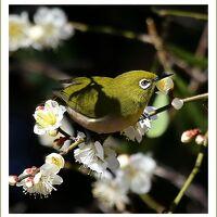 Solitary Journey [1878] 一足早い春の訪れ♪梅の花の香りに誘われてはしゃぎ回るメジロたち。<冠山総合公園・光の花物語> 山口県光市