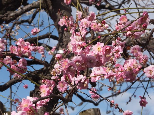 第40回世田谷梅まつり:羽根木公園 梅が丘 2017/02/25<br /><br />久しぶりに、羽根木公園に梅祭りを見に行きました。<br />台湾・高雄で暮らし始めてから、タイミングが合わなくて、梅の最盛期を見るのは久し振りです。休日ではないので、拝観している人は10人足らずでした。桜と違って華やかさはないですが、近づいて見ると梅もなかなかのものです。<br />羽根木公園は、以前は、とは言っても、4,50年前には根津山と呼ばれ、梅林などありませんでした。梅園で有名になったのはいつ頃からでしょうか。<br />最寄駅の梅ヶ丘駅、駅名に梅が付けられているので、もともと梅に関係があったかもしれません。<br />開催期間:2月11日 - 3月5日<br /><br />住所:〒155-0033 東京都世田谷区代田4-38-52