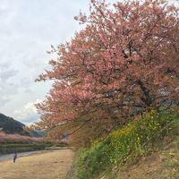 開花の予想が難しい、早く咲きすぎ2017年河津桜でお花見