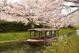 ひとりお花見部 2016② 伏見の桜と京都市動物園春の夜間開園そして すいば