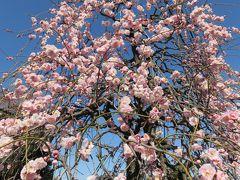 2017早春、蕾から七分咲までの枝垂れ梅(1/4):2月27日(1):名古屋市農業センター、街路樹の枝垂れ梅、緑萼枝垂れ、藤牡丹枝垂れ