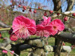 2017早春、蕾から七分咲までの枝垂れ梅(2/4):2月27日(2):名古屋市農業センター、入口門、マンサク、枝垂れ梅林、クロッカス、福寿草