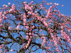 2017早春、蕾から七分咲までの枝垂れ梅(3/4):2月27日(3):名古屋市農業センター、枝垂れ梅林、竹林、ソシンロウバイ