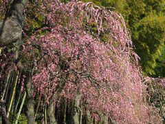 2017早春、蕾から七分咲までの枝垂れ梅(4/4):2月27日(4):名古屋市農業センター、枝垂れ梅林、竹林、ネモフィラ、鶏舎