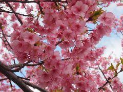 2017年早春 宿泊費2泊5日の旅 一足早い春の花を求めての旅 【河津桜まつり】