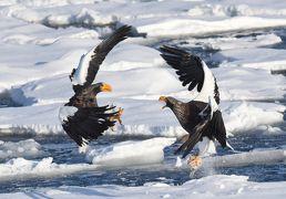 世界最大級のワシ、オオワシとオジロワシが晴れた空を飛び、流氷の海に集う: 冬の道東、鳥撮影の旅(2)