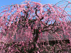 2017春、見頃の枝垂れ梅(2/5):3月7日(2):名古屋市農業センター、緑萼枝垂れ、呉服枝垂れ、紅枝垂れ、満作