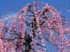 2017春、見頃の枝垂れ梅(4/5):3月7日(4):名古屋市農業センター、緑萼枝垂れ、呉服枝垂れ、千鳥枝垂れ、ピラカンサ