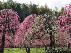 2017春、見頃の枝垂れ梅(5/5):3月7日(5):名古屋市農業センター、緑萼枝垂れ、呉服枝垂れ、紅枝垂れ、ハナニラ、スミレ