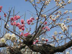 2017春、梅の花咲く白鳥庭園(3/5):3月5日(3):シナマンサク、清羽亭、竹林、雌滝、紅梅、白梅、紅白の思いのまま