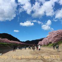 #320 2017年2月12日 河津 河津桜まつりぃ(3)・・・・『役場の桜』から『豊泉橋』『田中親水園地』を通過『かわづいでゆ橋』から『くるまの桜』まで・・・