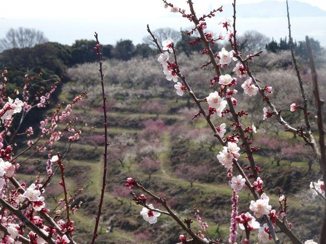 朝から良いお天気のこの日、思い切って「ひと目二万本」と言われる綾部山梅林に行ってきました。<br /><br />実は1週間ほど前に友人と行こうと計画したのですが、まだ満開ではないとのこと。梅は桜より花の数が少なくて満開前では寂しい印象があるとの認識があったので、場所を変更して京都に行ってきたのでした。<br /><br />この日、朝起きた時は薄曇り・・遠いし、一人じゃ寂しいし・・と思っていたのですが、次第に青空が広がり始めると我慢できず、H.Pで「山全体が満開見頃」との情報を確認すると最低限の家事を30分で片付けて(いつもはタラタラしてるけど、やったらできるじゃないですかぁ)、家を飛び出しました!