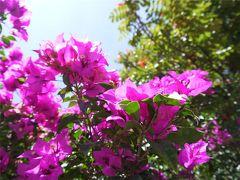 ケレタロに咲くブーゲンビリアが好き(メヒコ4日目)