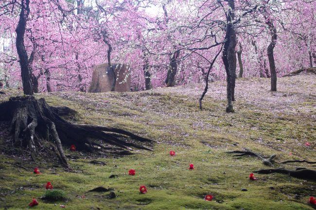 方除・厄除けの大社として知られる伏見の城南宮<br />何度かお詣りさせて頂いたことはあるのですが<br />神苑の枝垂れ梅の見頃にへのチャンスを逃していて<br />今年こそ~はと出かけたのでした。<br /><br />城南宮神苑には<br />150本の枝垂れ梅が今が盛りと咲き誇り<br />甘い香りを漂わせていました。<br /><br />神苑の周囲には多種の椿も開花し楽しむことも出来ました。<br /><br /><br />4トラのお仲間さんにお誘い頂いた日には私用で<br />ご一緒出来なかったのが残念でしたが・・・<br />画像で共有(^^♪