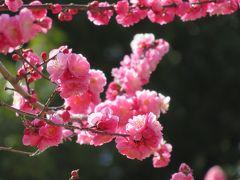 2017春、佐布里池の梅林(2/8):3月11日(2):佐布里梅、南高梅、八重咲の紅梅、佐布里池