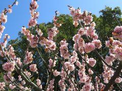 2017春、佐布里池の梅林(6/8):3月11日(6):曙、竜峡小梅、思いのまま、一の谷、雲の曙、白難波、八重茶青