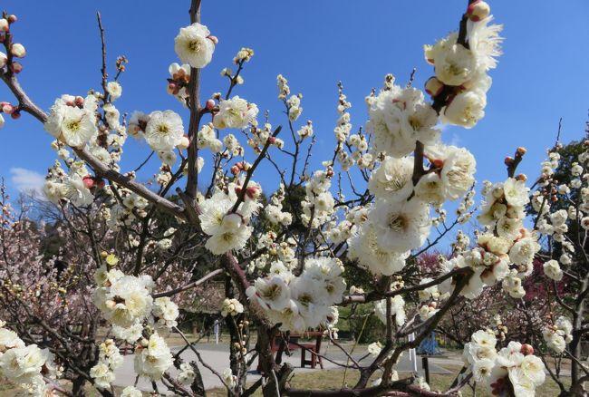 佐布里池の梅林の紹介です。品種の見本として植栽されていた梅の紹介です。『実梅』と『花梅』、あわせて25種類の梅の見本樹でした。