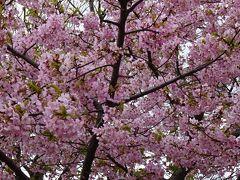 尼崎市武庫川コスモス園に咲く桜を観に出掛けました 上巻。