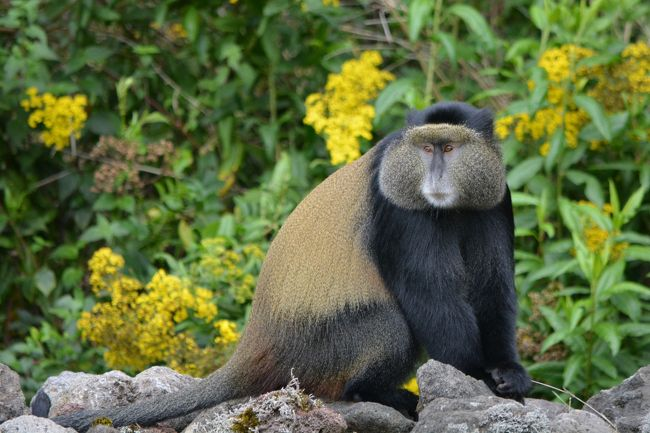 ゴリラトレッキングの翌日は、ゴールデンモンキートレッキングに行きました。<br />トレッキングと言いながら、お猿さんはこの日、国立公園の境界近くまで降りて来ていて、ほとんど歩かずに遭遇しました。<br /><br />毛並みが美しく、さらにキャッキャキャッキャと遊んでいる姿は、ずっと見ていても飽きなかったです。<br />ただ、油断して草原に腰を下ろしてしまったら、蟻に襲われてしまって大変でした。<br />足元は蟻対策をしていましたがウエスト付近が甘かったので、痛いと思った時には既に遅く、大量の蟻が私の上半身を襲って来てかなり痛かったです。<br /><br />動画がアップ出来たら良いのですが、写真でも伝わることを祈ってアップしますね♪