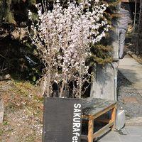 春を待つ武家屋敷に桜咲く「桜フェス」2017