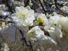 2017春、今年の見納めの枝垂れ梅(1/5):3月16日(1):名古屋市農業センター、見頃だった街路樹の緑萼枝垂れ、呉服枝垂れ