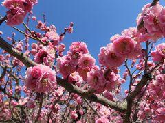 2017春、今年の見納めの枝垂れ梅(2/5):3月16日(2):名古屋市農業センター、緑萼枝垂れ、呉服枝垂れ、満開の遅咲種