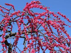 2017春、今年の見納めの枝垂れ梅(3/5):3月16日(3):名古屋市農業センター、緑萼枝垂れ、呉服枝垂れ、紅枝垂れ、玉垣枝垂,れ、素芯蝋梅