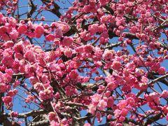 2017春、今年の見納めの枝垂れ梅(4/5):3月16日(4):名古屋市農業センター、満月枝垂れ、紅枝垂れ、玉垣枝垂れ、山野草展
