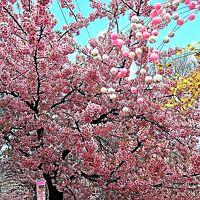 松戸2/3 松戸宿 坂川 河津桜まつり の前に ☆早くも濃ピンクに色づき