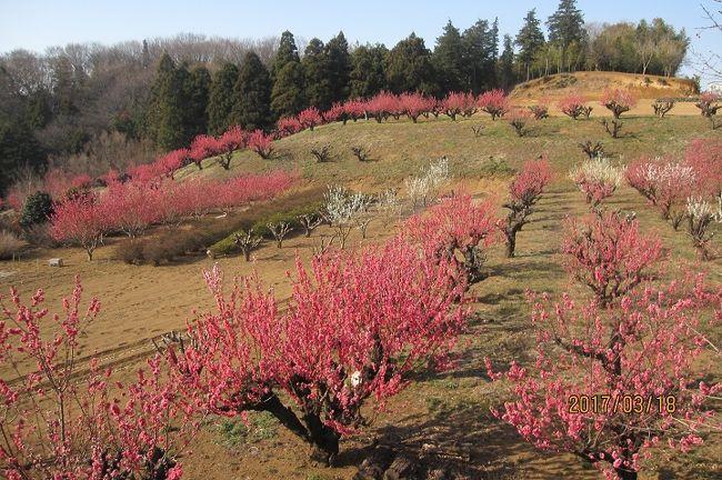 横浜市青葉区保木(ほぎ)の横浜市指定の「農業専用地区」内にある「元石川・花桃の丘」は、毎年たまプラーザ住民の目を楽しませてくれています。<br />今満開の花桃の丘を、今年も2017年3月18日、訪れましたが、世代交代のためか、このところ少しずつ変化しているように感じられます。<br />今回は、満開の花桃と、このあたりの事情をご紹介します。<br />