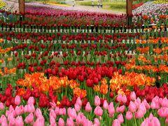 ひとあし早い安曇野の春!2017「アイスチューリップの庭」 雪景色の中に咲くチューリップに感激!