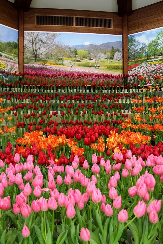 国営アルプスあづみの公園で開催されてる「アイスチューリップの庭」、<br />地元TV局のニュースで取り上げられていました。厳寒期の信州でチューリップが咲いているなんてすごいな・・・<br />ためしに見に行ってみよう!<br />展示期間が限定されているので週末のお休みに合わせて、訪問しました。<br />当日は冬型の気圧配置が強くなり安曇野地方は雪降りになってしまいました。<br /><br />☆アイスチューリップとは、<br />球根を特殊な方法で冷蔵保存し、冬を疑似体験させることで開花時期を調整したチューリップのことをいいます。気温が低い冬ほど花持ちが良く、開花時期が長くなります。<br /><br /><br />参考 国営国営アルプスあづみの公園 公式HP<br />http://www.azumino-koen.jp/horigane_hotaka/new/topics.php?id=1330