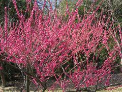 2017春、東山植物園の梅と河津桜(2/8):3月10日(2):思いのまま、マメナシ、鹿児島紅、青軸、紅千鳥、ビオトープ
