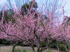 2017春、東山植物園の梅と河津桜(3/8):3月10日(3):思いのまま、鴛鴦、寒衣、冬至