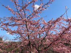 2017春、東山植物園の梅と河津桜(6/8):3月10日(6):梅林の遊歩道、寒紅梅、八重茶青、見驚、河津桜