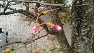 (開花前の)千本桜並木と苺フルーツトマト狩りと春の宴